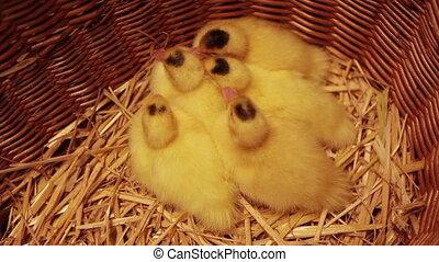 Newborn chicken in a basket - Group of tired newborn chicken...