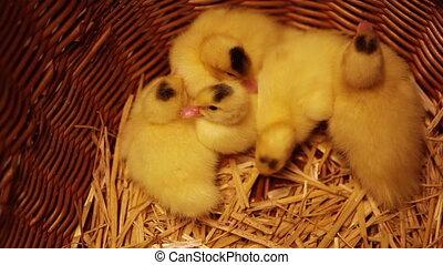 Newborn ducklings in a basket - Group of tired newborn...