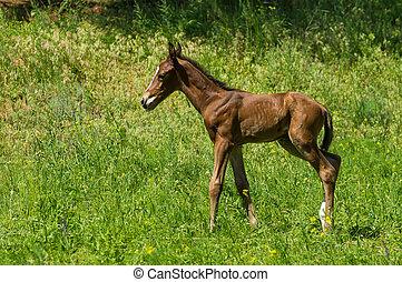 Newborn foal doing first run on a spring pasture