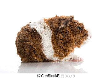 newborn guinea pig. texel