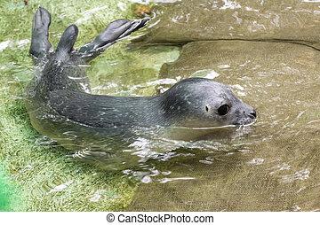 Newborn harbour seal (Phoca vitulina) - Harbour seal (Phoca...