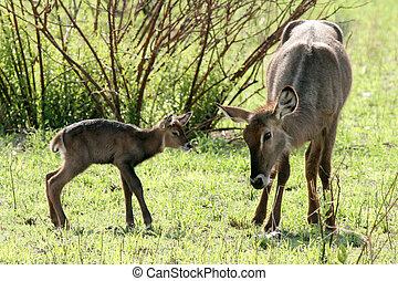 Newborn Impala - Tanzania, Africa - Tarangire National Park...