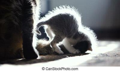 Newborn kitten and mom cat. 4K video 25 frames