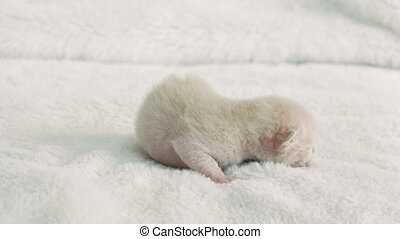 newborn kitten Burmese breed on the fur litter