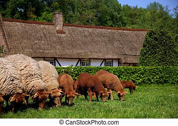 Newborn lamb and sheep in meadow.