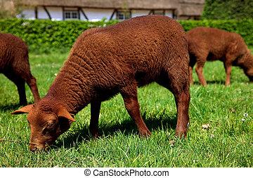 Newborn lamb in meadow.