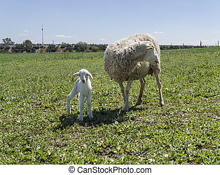 Newborn lamb with his mother in a meadow