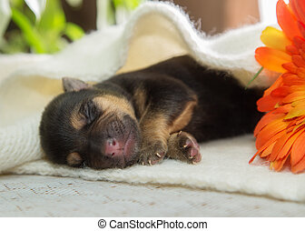 Newborn puppy is sleeping on a knitted scarf