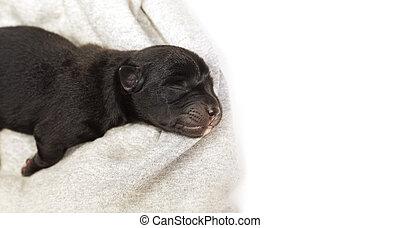 newborn puppy sleeping black labrador retriever