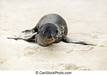 Newborn Sea Lion struggling to walk, Santa Fe, Galapagos