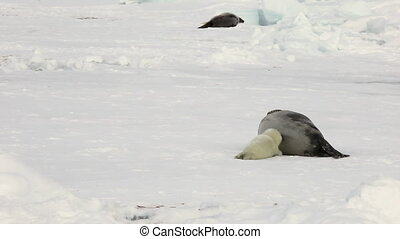 Newborn seal near mother on ice White Sea in Russia....