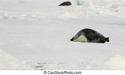 Newborn seal near mother on ice White Sea in Russia.