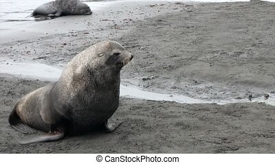Newborn seal with moms on beach of Falkland Islands in...