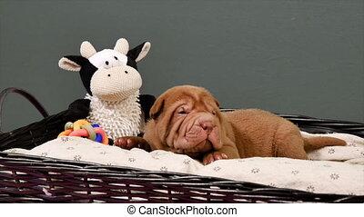 Newborn Shar Pei Dog Pup in a Basket - Cute Shar Pei puppy...