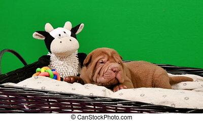 Newborn Shar Pei Dog Pup in a Basket Green Screen