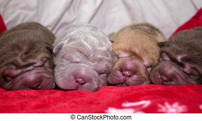 Newborn Shar Pei Puppies Sleeping