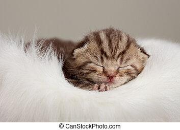 Newborn sleeping british baby cat with