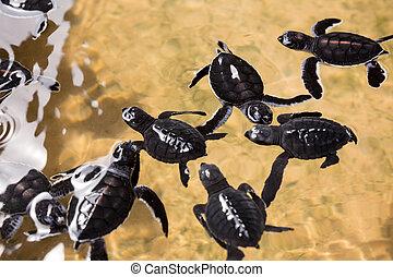 Newborn turtles in water, seaturtles Sri Lanka. Seaturtle...