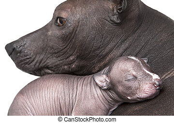 Newborn xoloitzcuintle puppy with mother
