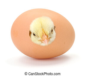 Newborn yellow chicken hatching