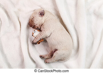 Newborn yellow labrador puppy dog sleeping on white blanket