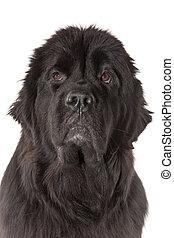 Newfoundland dog portrait