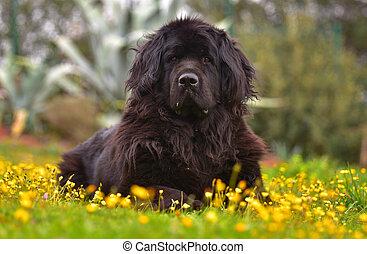 newfoundland dog pure breed - newfoundland dog adult