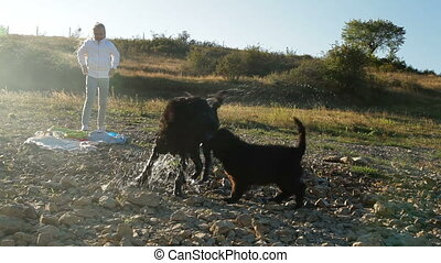 Newfoundland Dog Shaking - Newfoundland dog shaking after...