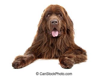 newfoundland hond