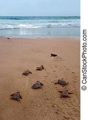 Newly hatched baby Loggerhead turtle toward the ocean