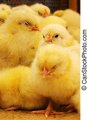 newly hatched chicks snuggle up to each other