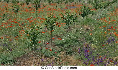 Newly planted cherry orchard in late spring with red poppies