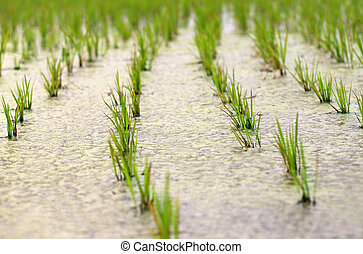Newly planted paddy seedling in marshland