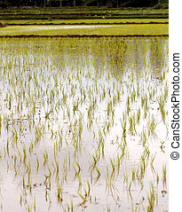 Newly planted rice seedlings