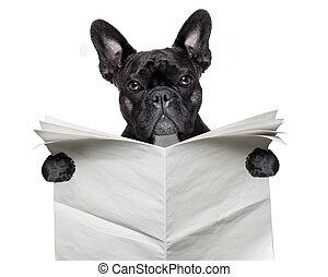 newspaper bulldog - black french bulldog reading a big blank...