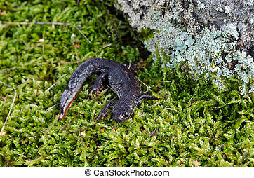 newt triton eft cold-blooded amphibian moss - newt triton...