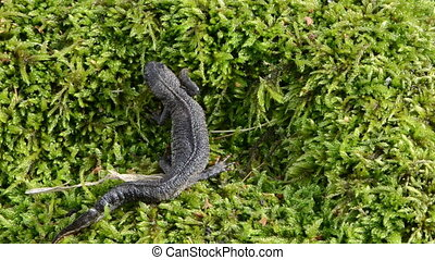newt triton eft walk moss - newt triton eft pleurodelinae...