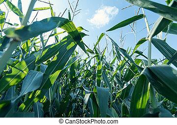 nezkušený, obilí, field.