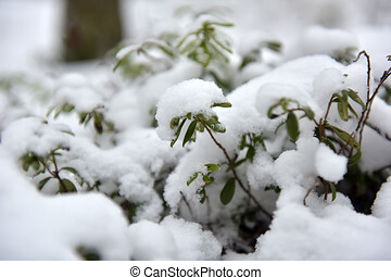 nezkušený, pod, list, lingonberry, sněžit
