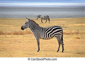 ngorongoro, olhar, curiosamente, posar, zebra, safari