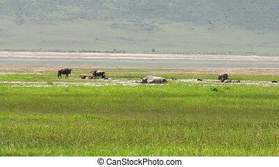 ngorongoro, rhino blanc, cratère
