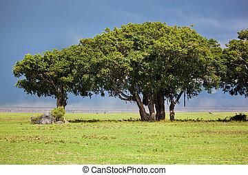 ngorongoro, tansania, afrikas, baum, savannah.