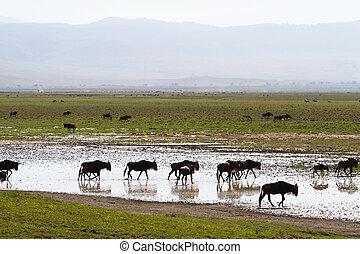 ngorongoro, wildebeest