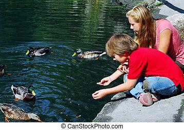 niños, alimentación, patos