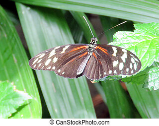 Niagara the Hecale Longwing 2016 - The Hecale Longwing in...