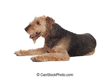 Nice airedale terrier breed dog