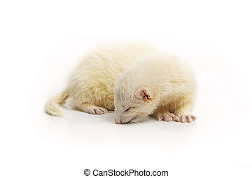Nice albino ferret on reflective white background