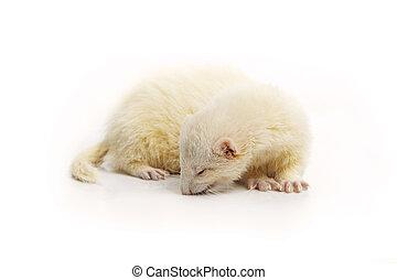 Nice albino ferret on reflective white background