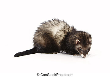 Nice angora ferret on reflective white background