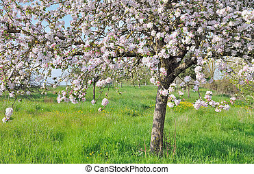 nice apple tree while pink flowers